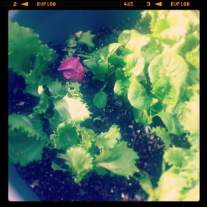 Is that an Owl in your lettuce?