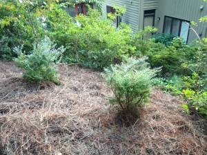 My three blueberry bushes!