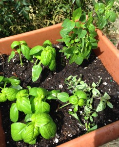 Three kinds of Basil.