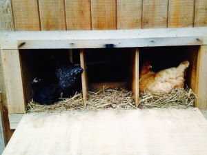 Sleeping in the nesting boxes.