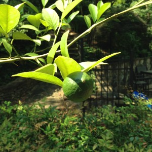 One of the lemons on our lemon tree